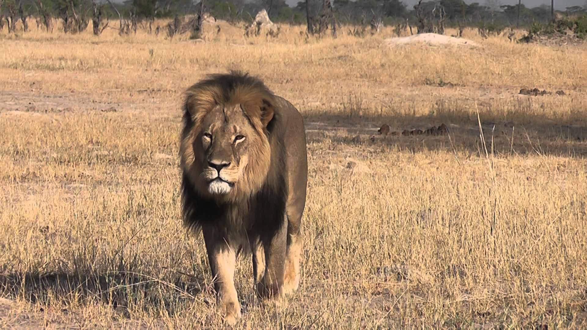 El león era una de las principales atracciones del Parque Nacional de Hwange en Zimbabue