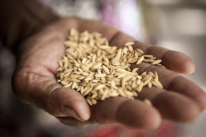 Chile, Guatemala y el Programa Mundial de Alimentos buscan promover el consumo de maíz y frijol biofortificados