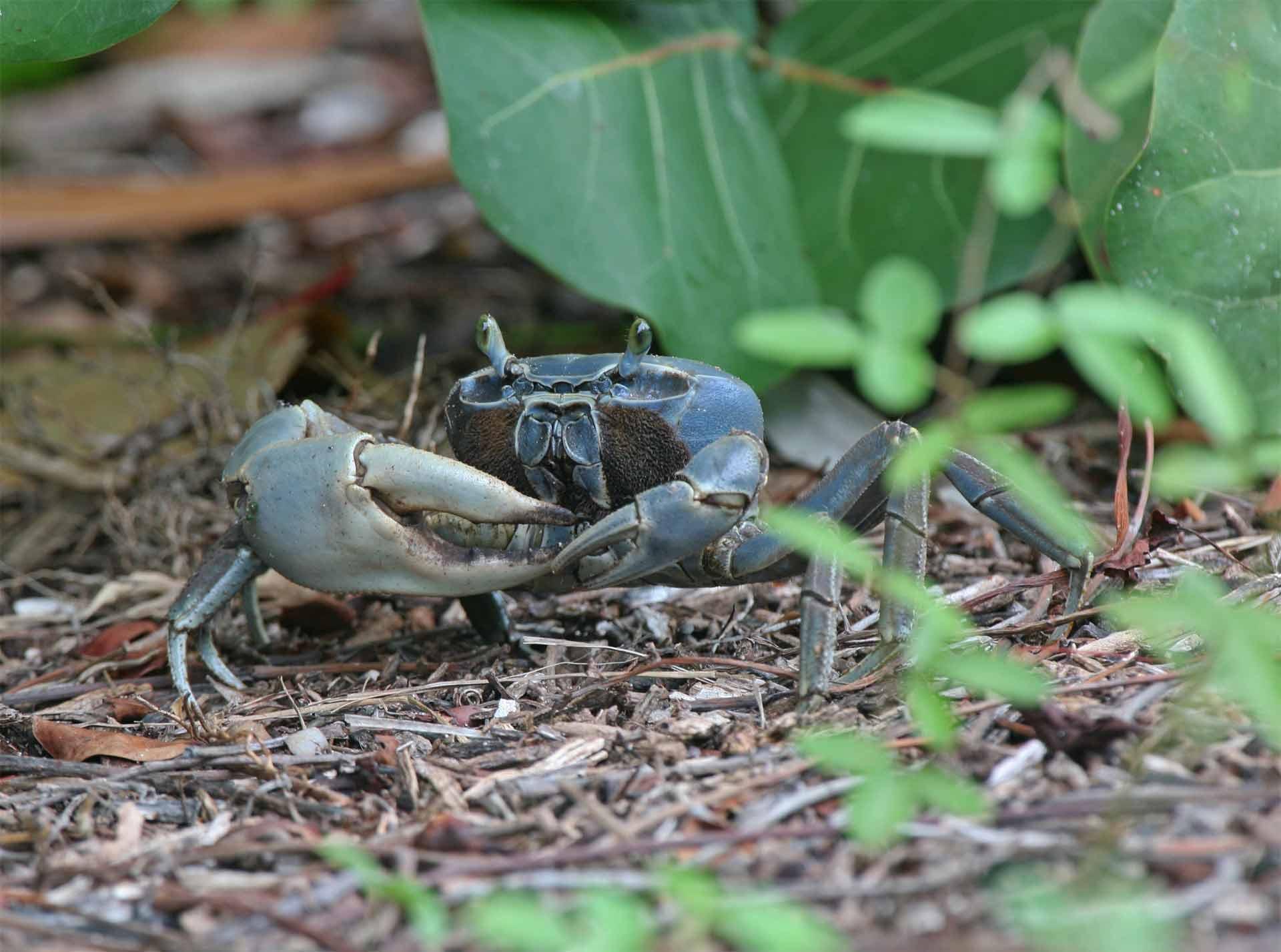 Inparques realiza campañas de concienciación para salvar al cangrejo azul que habita en Falcón