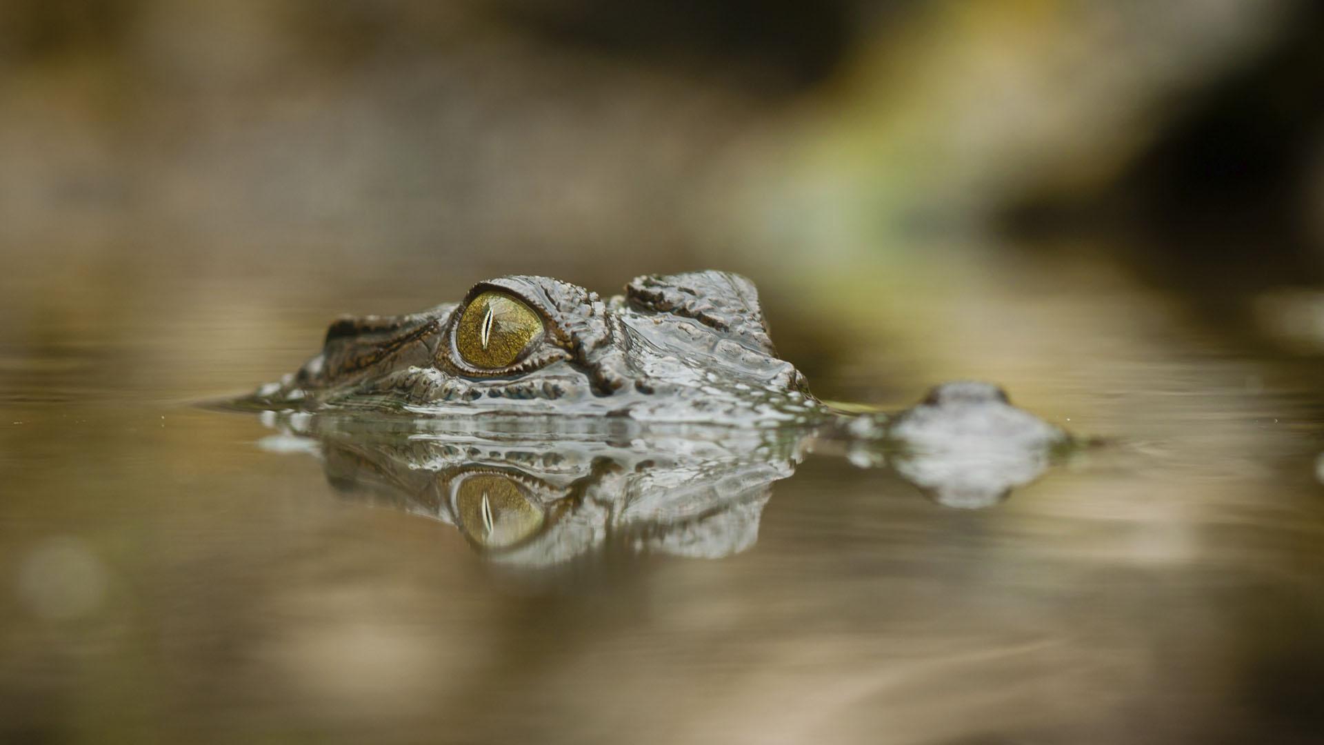 La Organización Nacional de Salvamento y Seguridad Marítima de los Espacios Acuáticos informó de la aparición de estos reptiles en playas de Higuerote, Río Chico y Carenero