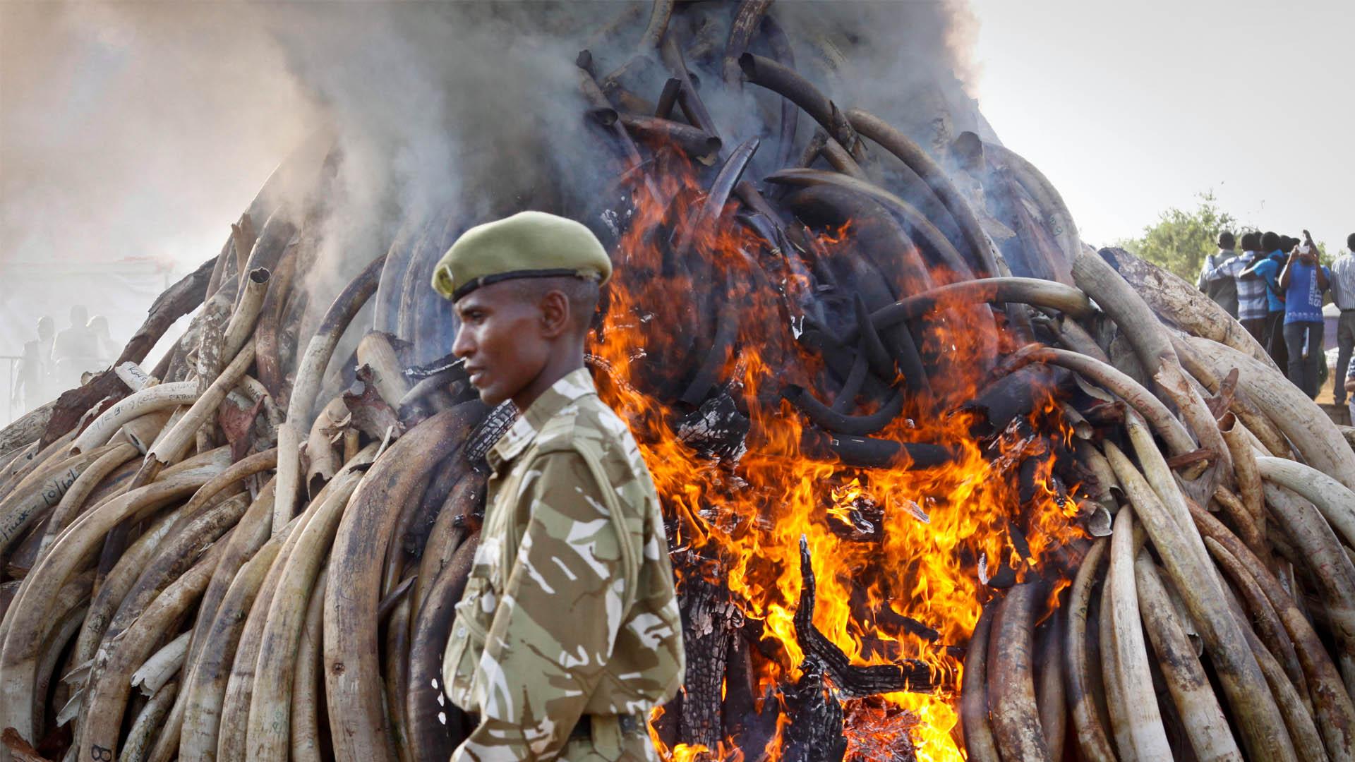 La población del emblemático animal de las sabanas africanas ha disminuido en 30% desde el 2007