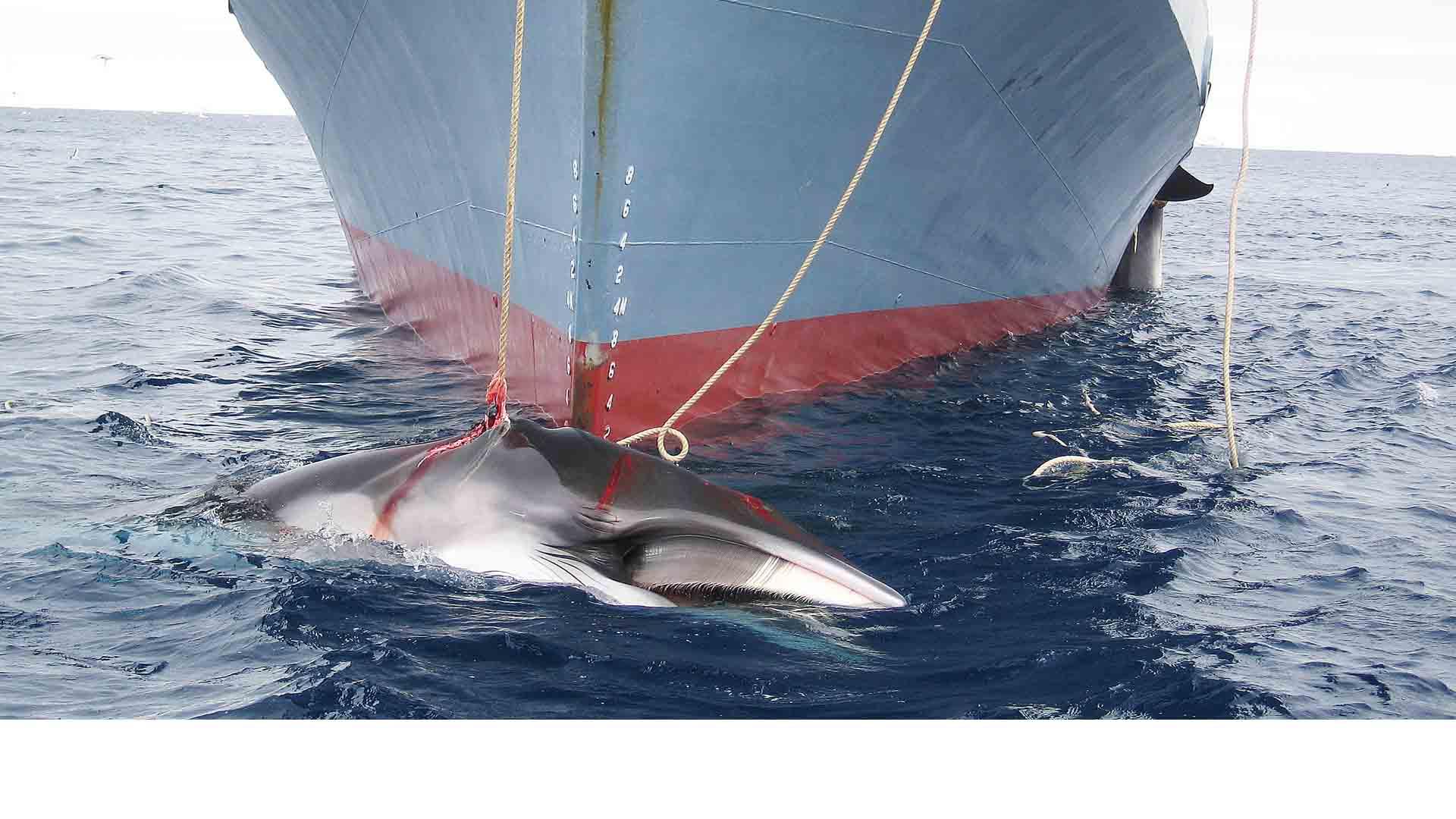 Debido a la creciente cantidad de cacería a está raza marina se espera tratar el tema lo más pronto posible ante la Comisión Ballenera Internacional
