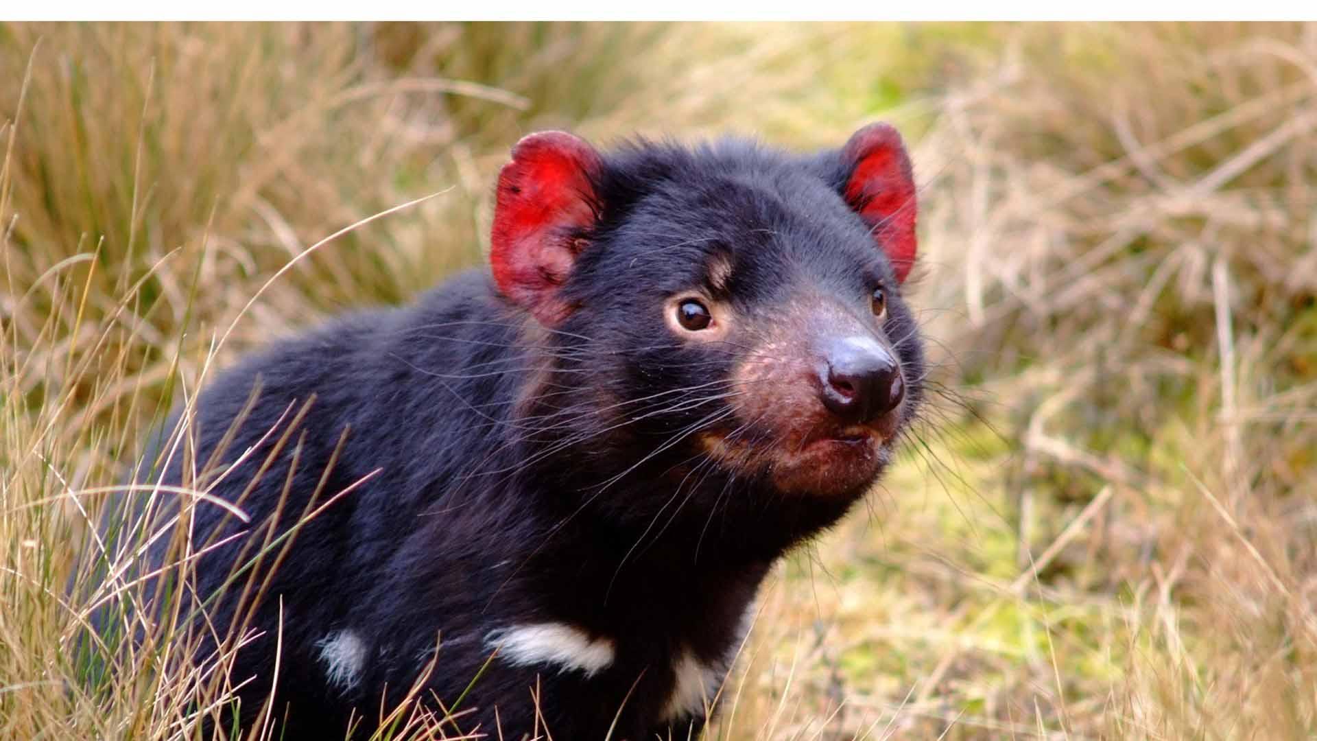 Investigadores determinaron que la leche los demonios de Tasmania contiene propiedades que protege de infecciones