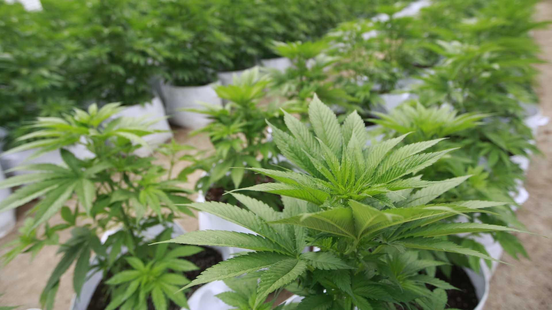 Otros estados como Florida, Arkansas, Montana y Dakota del Norte dieron su visto bueno al cannabis para uso medicinal