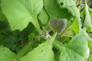 Un estudio demostró que la planta andina podría ser efectiva para mejorar el tratamiento contra la enfermedad