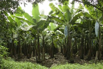 El hecho se registró en El Hatillo, sector El Peñón cuando estos trataron de robar parte de la cosecha de cambures de su propiedad