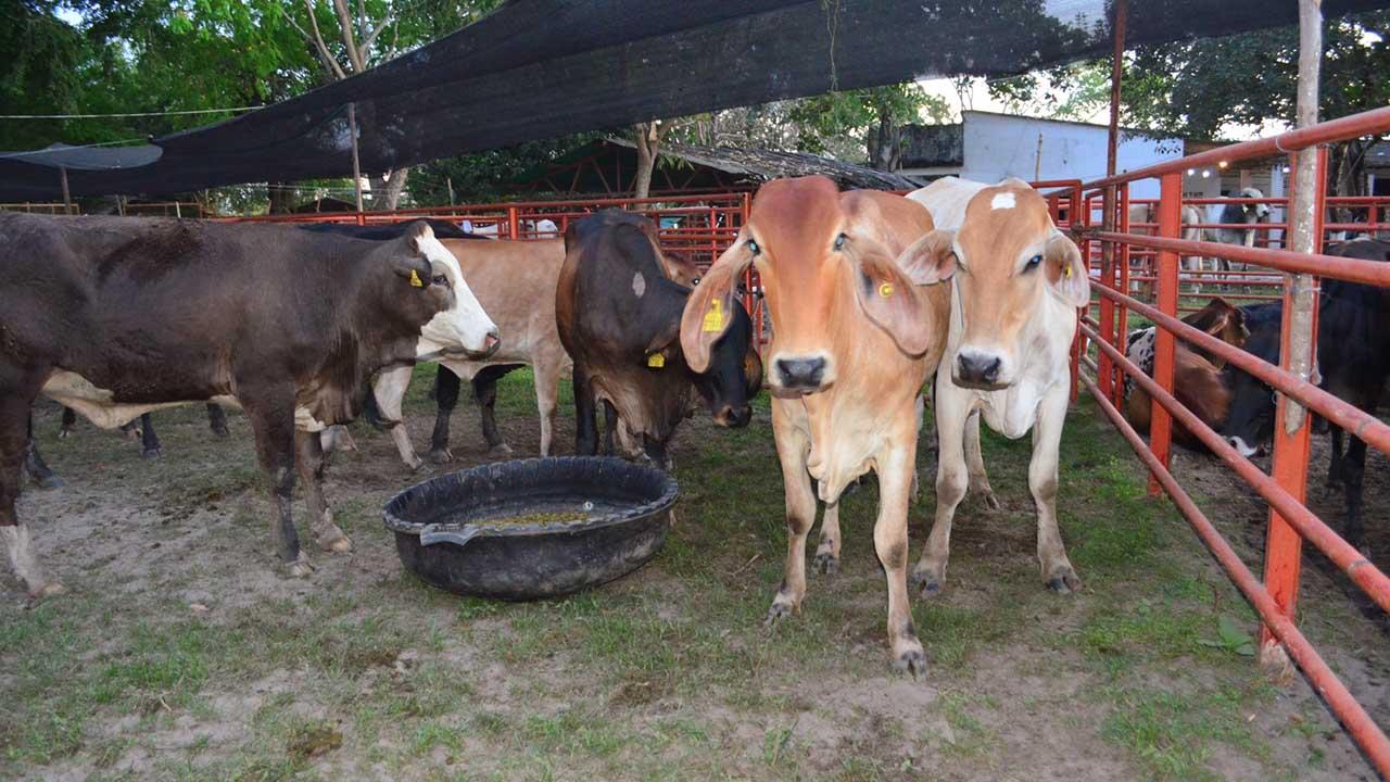 El brote de la afección viral ya ha afectado a 137 animales en 8 predios de Yacopí