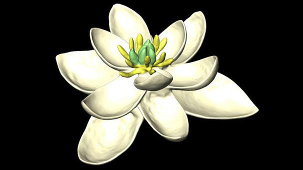 La antigua flor de angioesperma era radialmente simétrica y bisexualcon múltiples espirales de pétalos organizados en grupos de tres