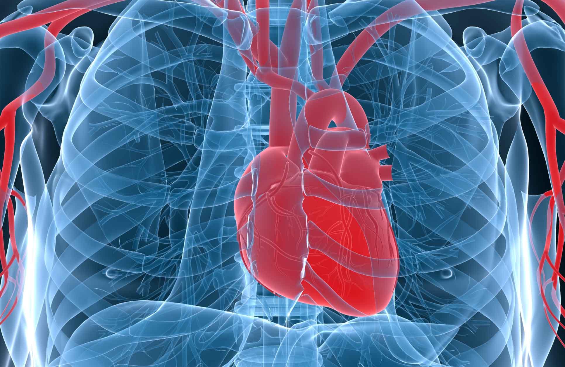 La cardiotrofina-1 le hace creer al órgano que el cuerpo realiza ejercicio, para favorecer su crecimiento