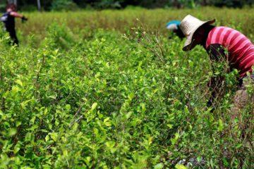 El acuerdo destinará $315 millones para que las plantaciones sean transformadas en cultivos de café, cacao o especias