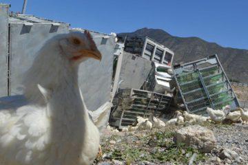 El Destacamento 321 atendió la alteración de ciudadanos que buscaron apropiarse de 3.017 aves vivas, en cojedes