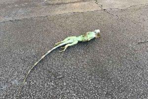 Los reptiles caen de los árboles sin vida, por las bajas temperaturas que azota a los EE.UU.