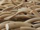 Con la supresión de la venta legal se podría detener la caza furtiva de miles de elefantes anualmente
