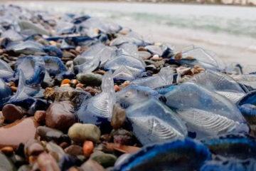 Cientos de miles de pequeñas medusas de color azul intenso se encuentran varadas en las playas de Costa Brava, España