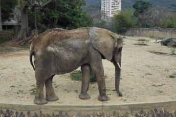El ícono del zoológico, de 48 años, murió a medianoche en su área de resguardo