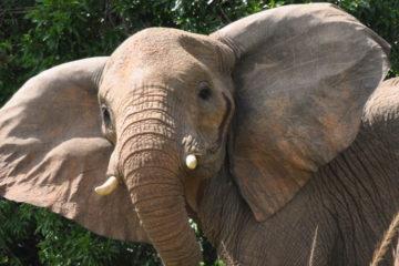 El portavoz de vida silvestre, Bashir Hangi, informó que el animal era molestado por varios infantes, quienes les lanzaban piedras