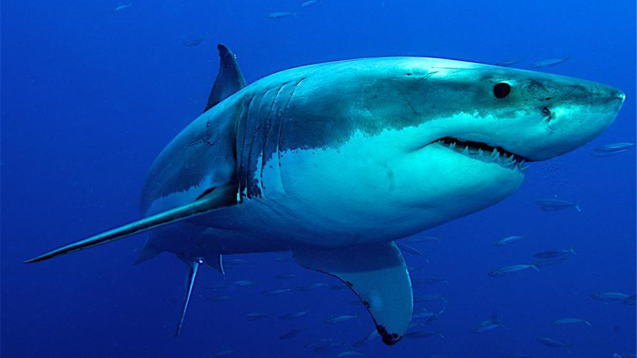 Los dientes removidos están siendo analizados para determinar la especie de los depredadores