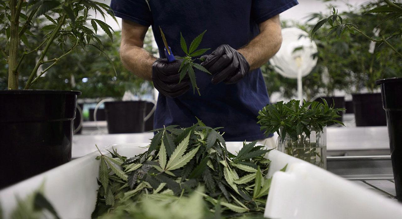 Constellation y Canopy Growth tiene previsto crear bebidas no alcohólicas con infusión de marihuana