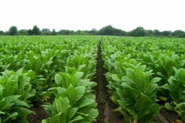 Cerca de 84 millones de toneladas de dióxido de carbono (CO2) son emitidas a la atmósfera anualmente como resultado del cultivo de la planta