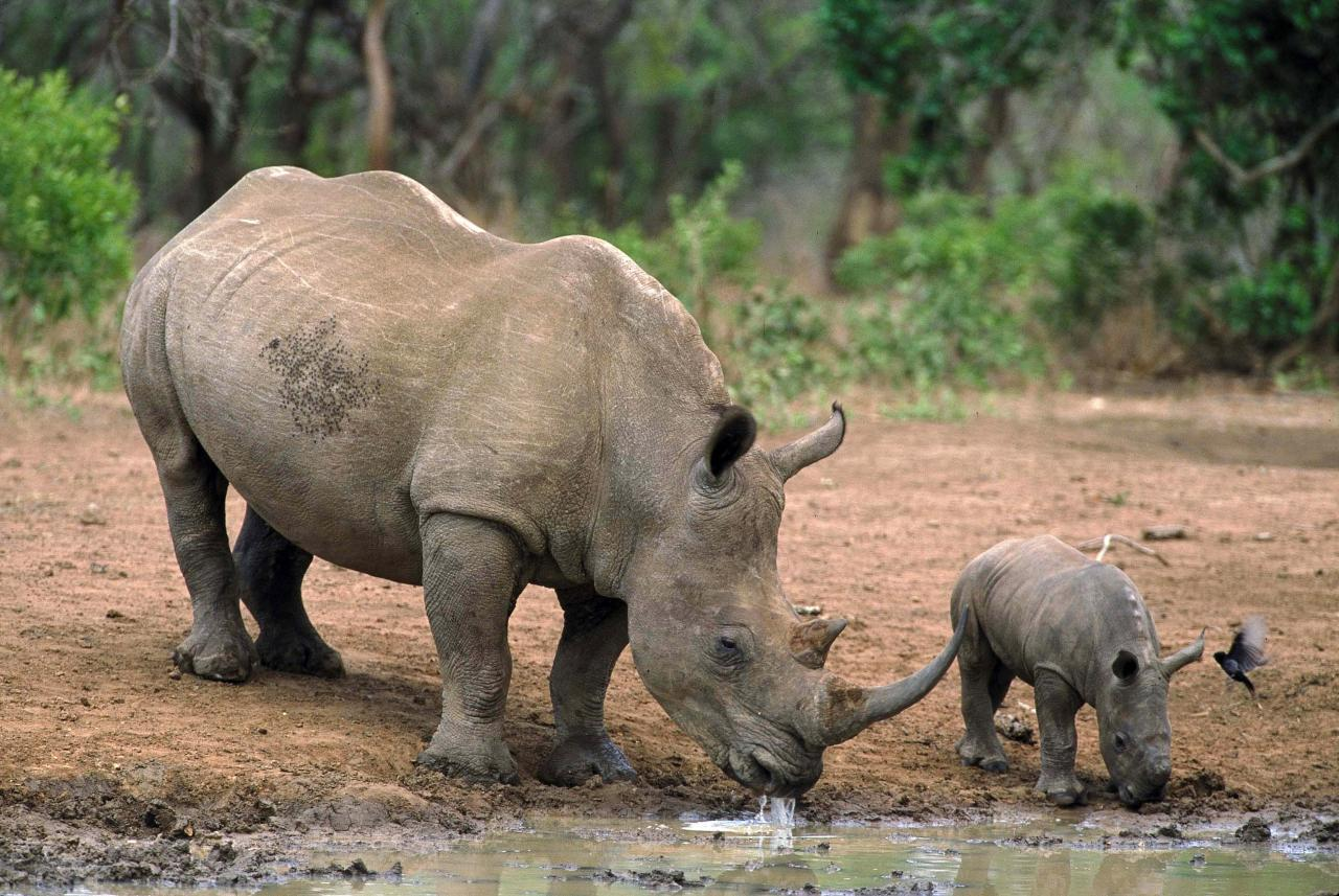 China mantiene prohibición de comercio con rinoceronte y tigre