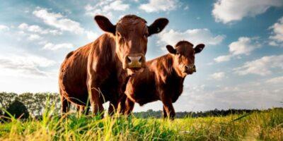 Ganaderos denuncian que producción de leche no llega al 30%