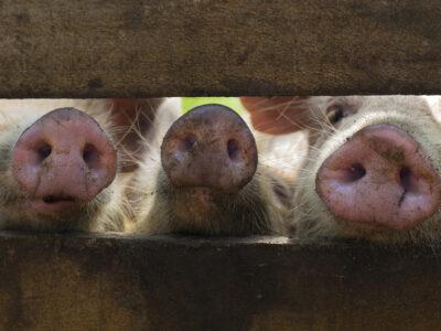 FAO advirtió sobre la peste porcina africana en Republica Dominicana
