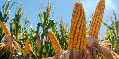 Será necesario importar maíz: Alimentos Polar solicita exoneración de aranceles