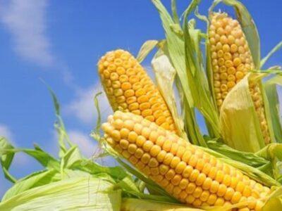 Inversión privada recuperó la producción de maíz